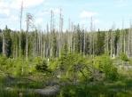 Cestou k prameni Vltavy po modré vidíme, že uschlé stromy už začínají být nahrazovány mladými. Akorát jsou to zas smrčky a bez zásahu člověka tu asi jen tak nic jiného nevyroste.