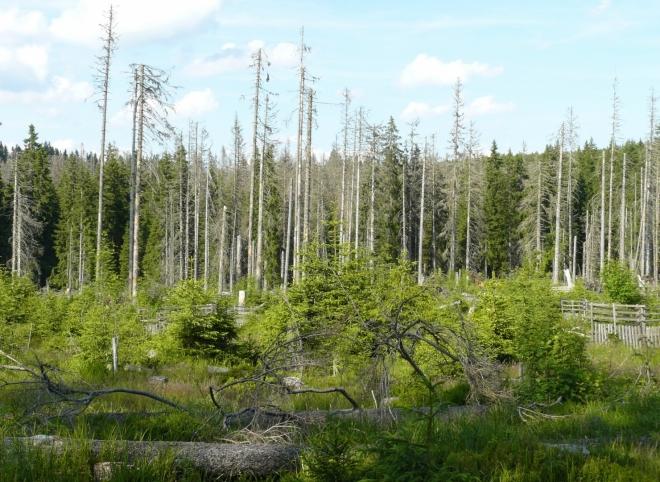 Cestou po modré k prameni Vltavy vidíme, že uschlé stromy už začínají být nahrazovány mladými. Akorát jsou to zas smrčky a bez zásahu člověka tu asi jen tak nic jiného nevyroste.