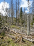 Smutné stromy nad pramenem Vltavy (foceno začátkem května)