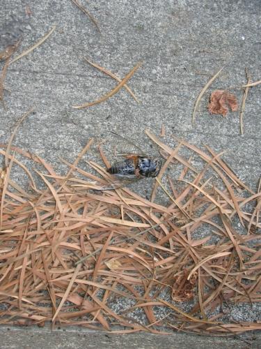 Všiml jsem si, že v korunách stromů na školní zahradě často poletuje nějaký velký a hlučný hmyz, zde se mi jej zřejmě povedlo vyfotit. Tipuji, že jde o nějaký druh cikády.
