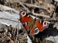 Pozdní motýl se chystá přezimovat na vrcholu Chlumu.