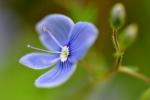 Jemnost a krása malého modrého kvítku rozrazilu vynikne nejvíc zblízka. Svou barvu krade modrookým dívkách, které si lehají k němu do trávy.