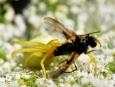 Mimikry dobře poslouží dalšímu z pavouků, kterým je běžník kopretinový. Svoji barvu dokáže přizpůsobit květině, na níž právě loví.