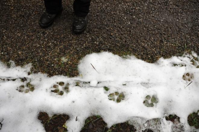 Stopy by mohly velikostí odpovídat rysím, ale tato velká kočka klade vždy zadní nohu do otisku té přední, takže jdeme spíš po stopách psích.