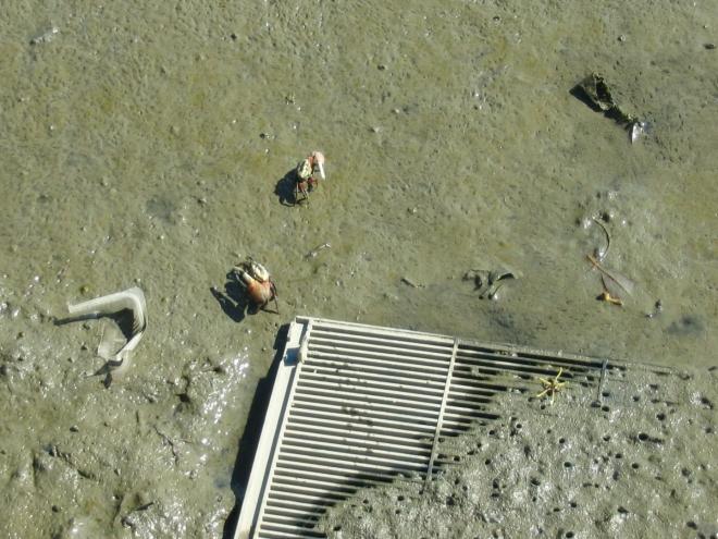 V pobřežním bahně se potulují nesouměrní krabi a další drobní živočichové. Vyfotil jsem zde i lezce (rybu, která dokáže chodit po souši), tuto fotku jsem si však bohužel nějakým nedopatřením smazal.