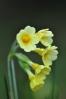 Mezi jarními květy jsou prvosenky nepřehlédnutelné.