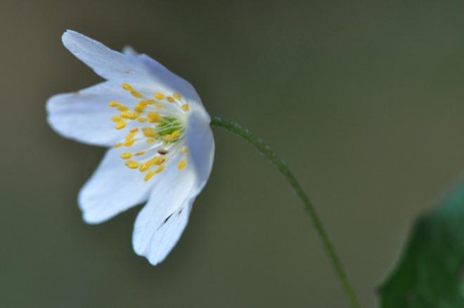 Sasanka je další květinkou časného jara.