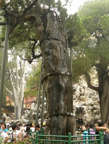 Tento velmi starý strom musí být podpírán sloupy a zpevněn ocelovými objímkami.