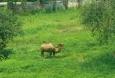 V údolí pod silnicí se pase i velbloud dvouhrbý.