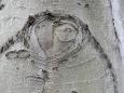 Kůra buků zase připomíná sloní kůži,