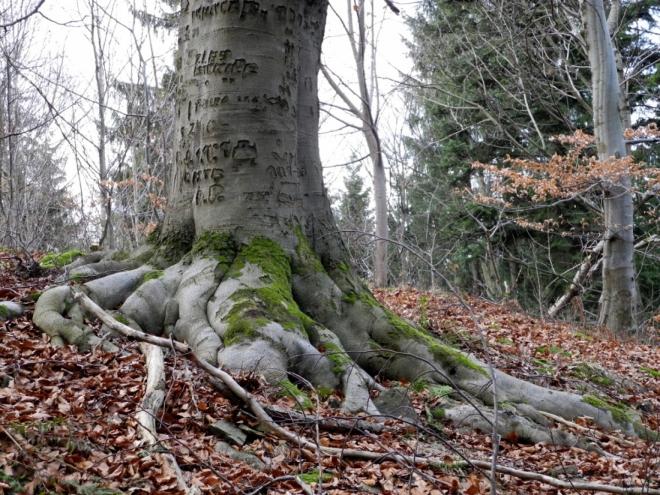 Síla starých stromů tkví v jejich kořenech.