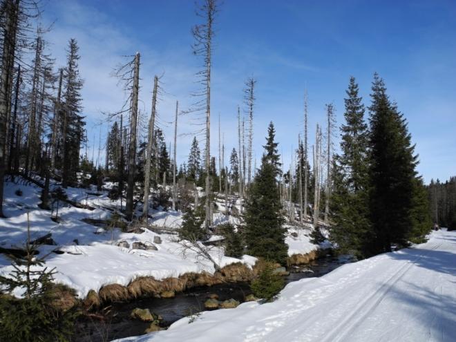 Kůrovec zde neblaze zapracoval na vzhledu okolí. Snad aspoň nějaké vzrostlé  stromy přežijí a nedopadne to jako na hraničních hřebenech, kde nezůstal po jeho desetiletém žíru prakticky jediný.