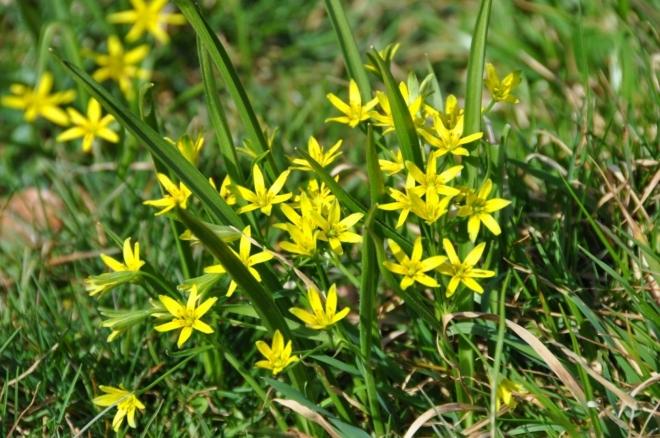 Křivatec žlutý roste na březích potoků v lužních a listnatých lesích, často společně s česnekem medvědím.