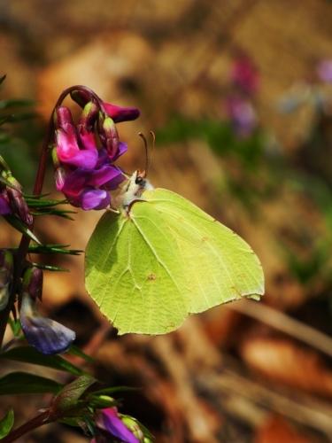 Žluťásek řešetlákový si pochutná i na květech hrachoru jarního.
