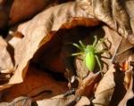Pavouk s krásným názvem maloočka smaragdová je jediným zástupcem ze 700 malooček, které žijí hlavně v tropech. Je vidět, že tento druh se adaptoval i na drsné šumavské podmínky. Foto je z 1 000 m n. m.