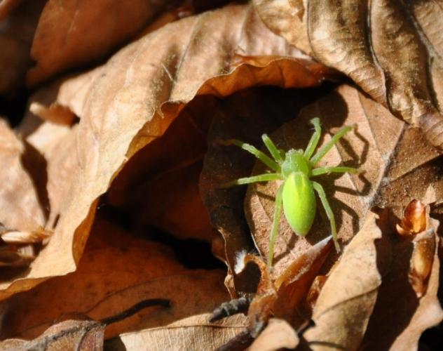 Pavouk s krásným názvem maloočka smaragdová je u nás jediným zástupcem ze 700 malooček. Ty žijí hlavně v tropech. Je vidět, že tento druh se adaptoval i na drsné šumavské podmínky. Foto je z 1 000 m n. m.
