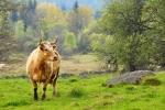 Pasoucí se krávy jsou docela zvědavé a jedna z nich se nás snažila kus cesty doprovázet.