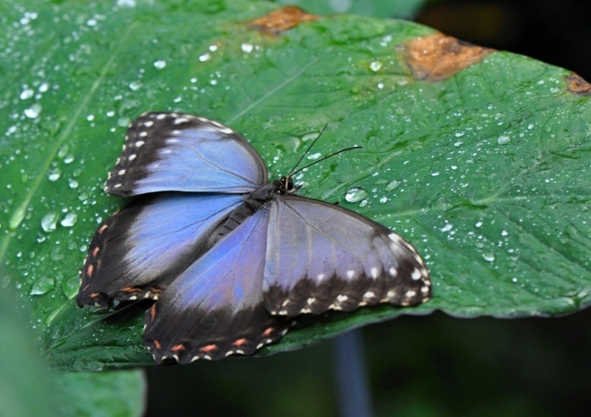 Morpho je nádherný motýl.