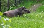 Tohle je tapír, kdybyste snad váhali.