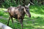 Losa bych raději viděl na Šumavě ve volné přírodě, kde se potlouká malé stádo okolo Lipna.