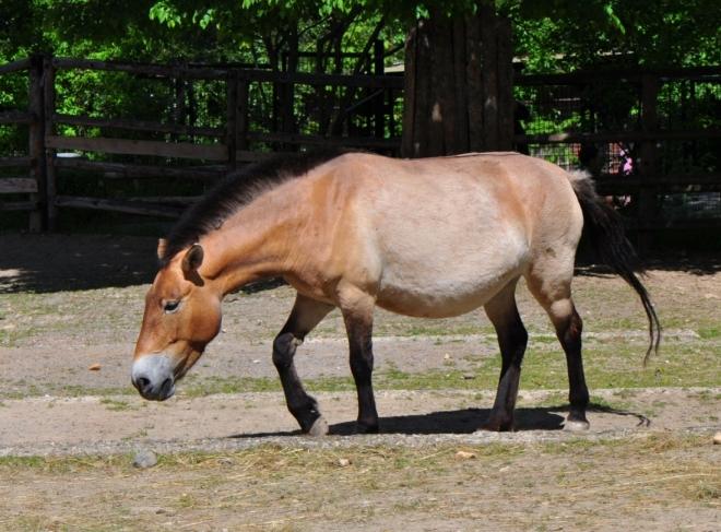 Kůň převalského.