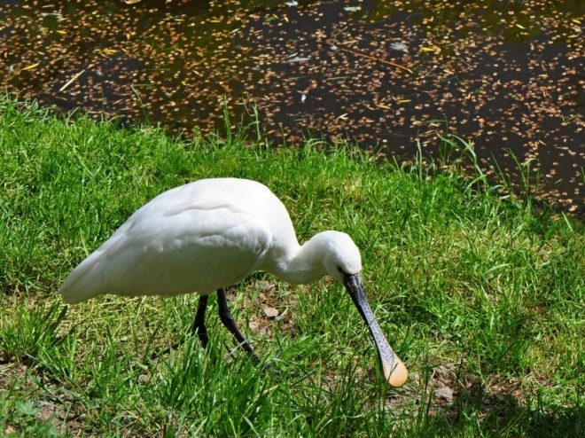 Kolpíka bílého jsem musel cvaknout, protože tento u nás vzácný pták sem tam zahnízdí na Zlivském rybníku. Plašit ho tam ale nechodím.