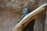 Snad úplně největším tahákem ZOO jsou gorily.