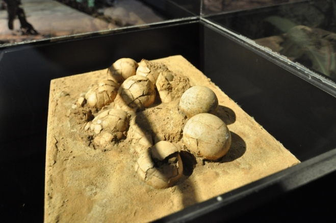 Zkamenělá vejce oviraptora.