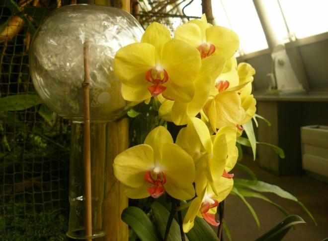 Význam baněk u orchidejí je mi skryt