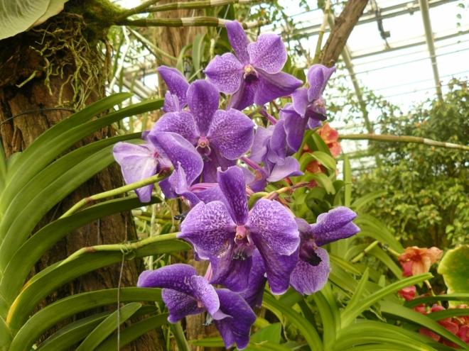 Orchideje, vlevo nahoře jsou vidět kořeny nějaké jiné orchideje