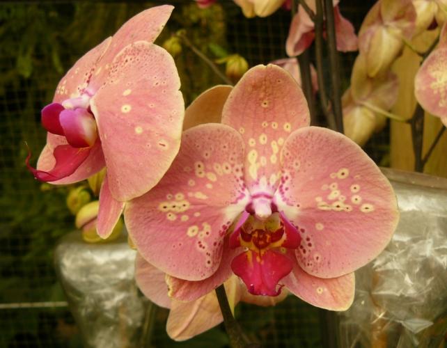Některé květy orchideje se snaží připomínat samičky různých druhů hmyzu, aby se s nimi samečkové spářili a při té příležitosti orchidej opilovali. Květ má navíc tvar uzpůsoben tak, aby hmyz snadněji nalétl přímo do květu.