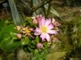 Další květ v polopouštní části