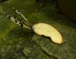 Motýli mají ve skleníku porůznu přichystanou potravu.