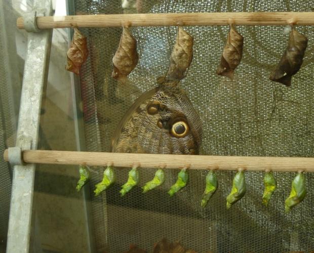 Na tyčkách visí kukly, z nichž se postupně rodí motýli