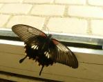 Motýl se dívá ven ze skleníku, jako by chtěl na svobodu.