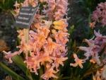 Hyacint východní