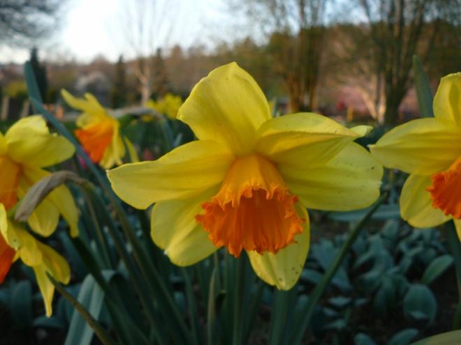 Narcis (pokud se nepletu)