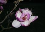 Květ magnólie