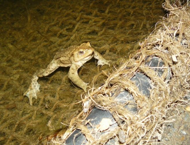 V horní části venkovní expozice v jezírku šmírujeme žáby, v noci aktivní