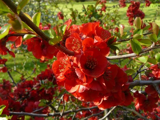 Květenství kdoulovce nádherného