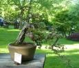 Jilm drobnolistý v detailu. Stylem této bonsaje je zřejmě kaskáda (větve na jedné straně sahají až pod květináč).