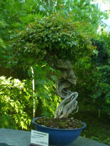 Javor Buergerův s chůdovitými kořeny. Ty jsou vytvořeny tak, že stromek nejprve zasadíme do hluboké zeminy, kterou mu pak postupně odebíráme.