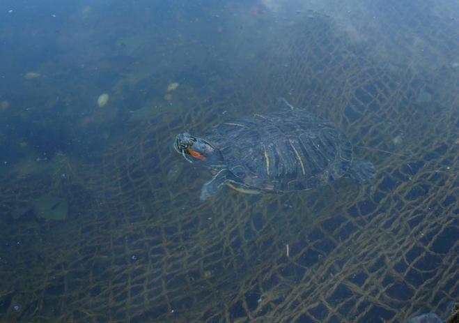 Jedna želva se před námi promenáduje