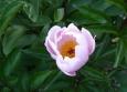 Květ magnólie (pokud se nepletu)