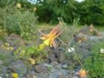 Květina v severoamerické polopoušti