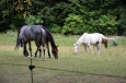 Koně na Pohorje, Slovinsko