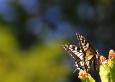 Otakárek fenyklový je nádherný motýl. Často ho ale neuvidíte a fotit se také jen tak nedá. Pro mne udělal výjimku a chvilku postál. Vlastně poseděl...