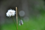 Suchopýr širolistý obývá rašeliniště a slatě.