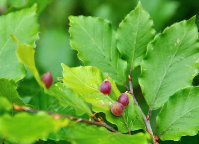 Hálky na listech buků skrývají larvy hmyzu bejlomorky.