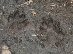 Stopy. Čí asi? Upozornění na monitoring rysa fotopastí jsme si všimli. Tyto stopy jsou ale asi jen od velkého psa, protože jsou vidět drápy.